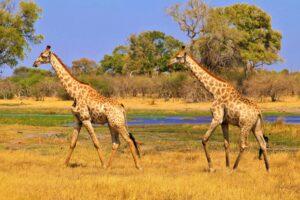 Een safari in Botswana maak je veilig met deze 4 tips